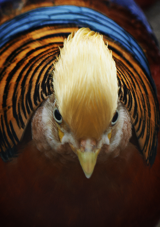 Golden Pheasant - South Australia