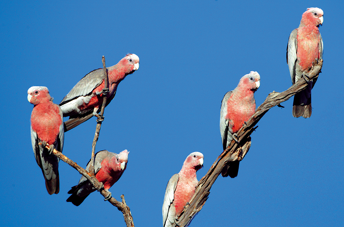 Galahs - Wrotham Park Queensland