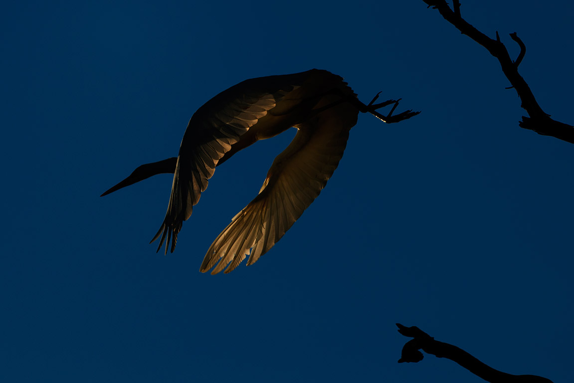 Heron in late evening - Wentworth NSW