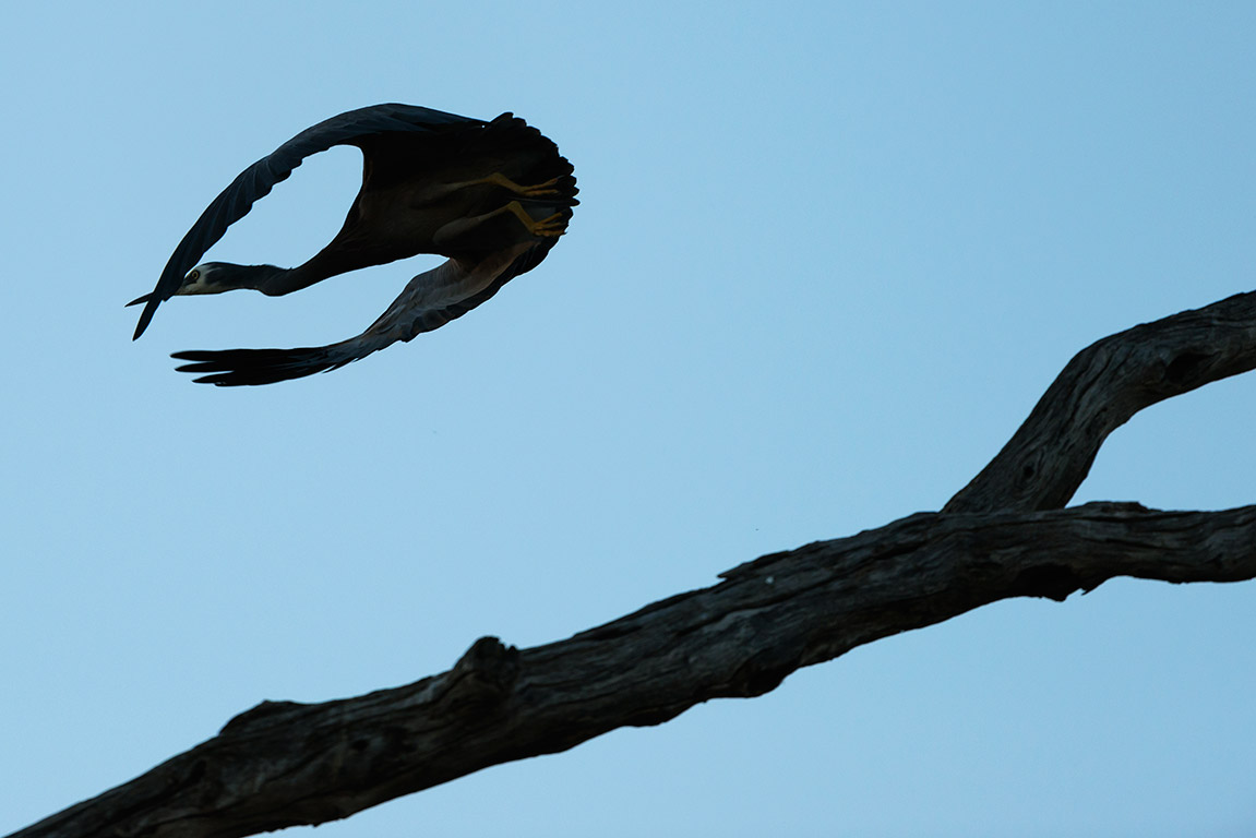 Heron silhouette, Wentworth NSW