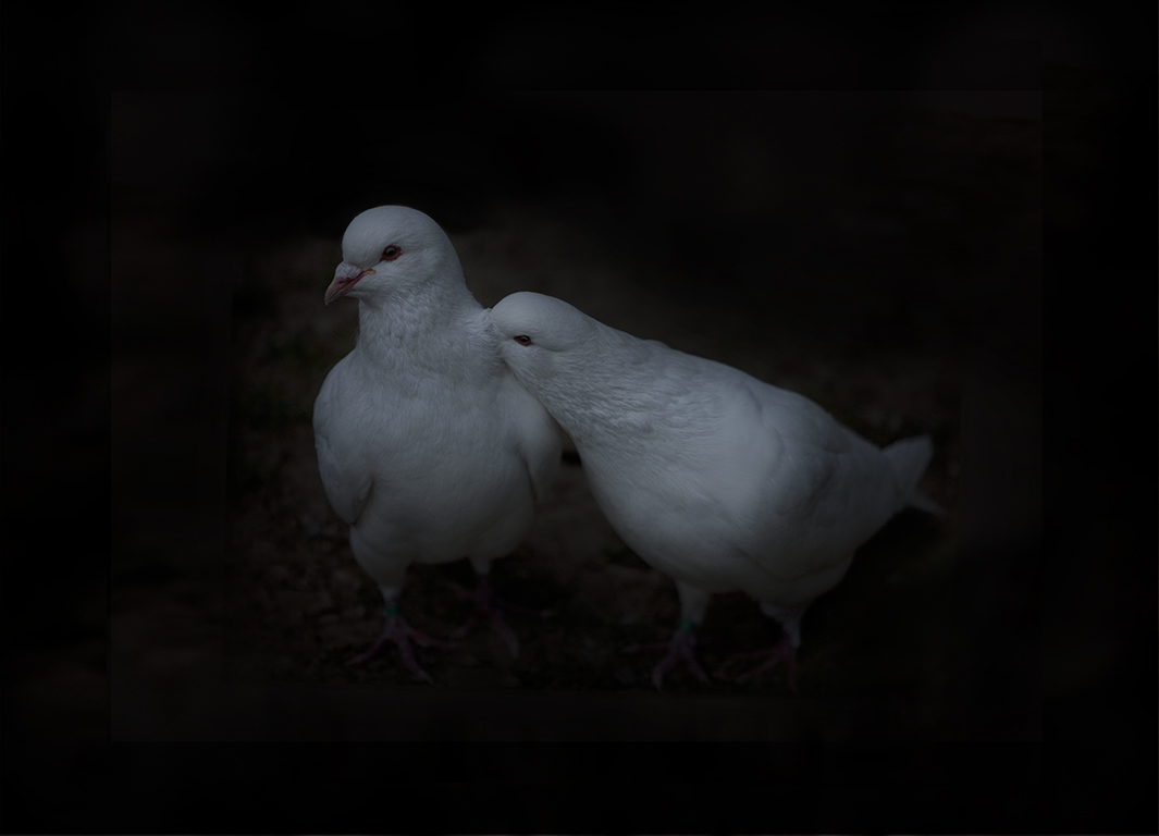 Pigeon couple - Tara Vic