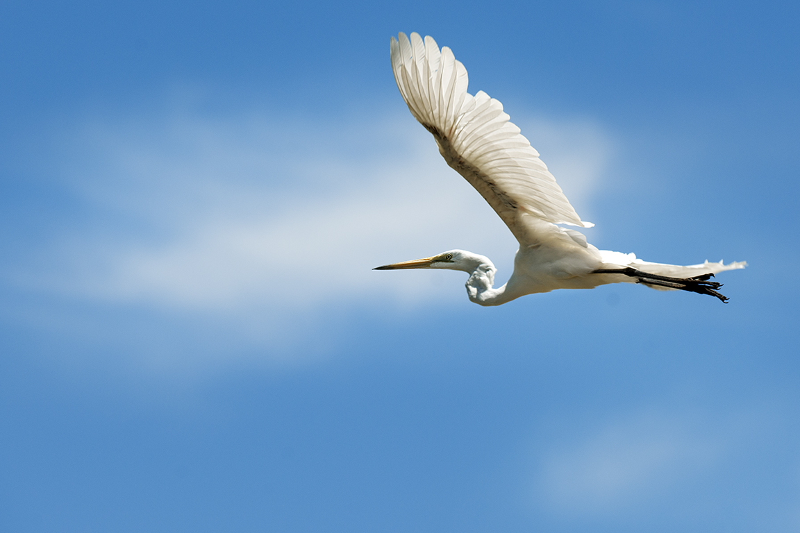 White Heron - Wentworth NSW